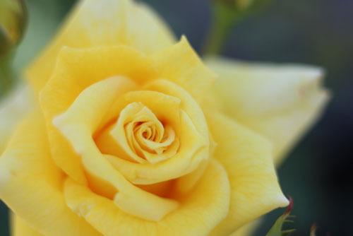 黄バラ画像
