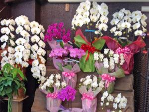 花の部屋 胡蝶蘭